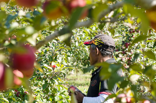 apple picker U-pick in southwest Quebec Province of Canada